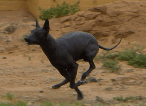 peruvian hairless dog pictures