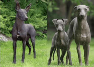 3 peruvian hairless dogs