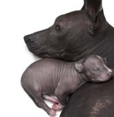 31 Reasons To Adopt A Peruvian Hairless Dog