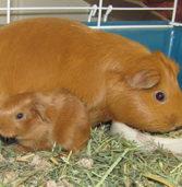 Guinea pigs: The ultimate Peruvian pet