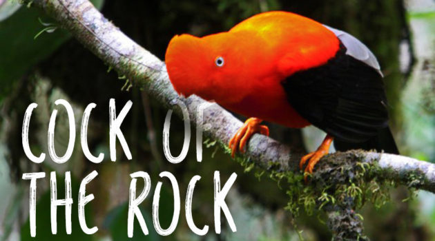 Must know facts about the Andean cock-of-the-rock