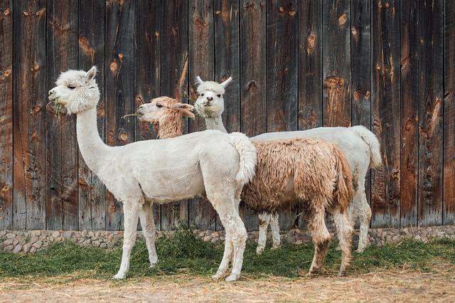 Three Alpaca's from Peru