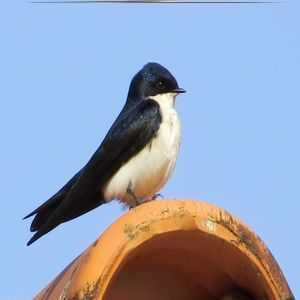Blue-and-white Swallow