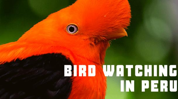 Bird Watching In Peru – 10 Surprise Birds, 10 missed birds & 10 common birds