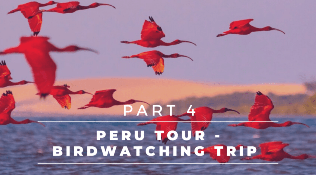 Peru Tour – Complete Birdwatching Trip Report – Pantiacolla Lodge, Amazonia Lodge, Cusco | Part 4