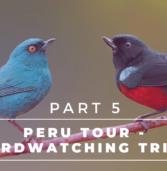 Peru Tour – Complete Birdwatching Trip Report –Machu Picchu, Ollantaytambo, Cusco, Lago Titicaca, Colca Canyon | Part 5