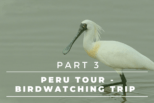 Peru Tour – Complete Birdwatching Trip Report – The Manu Road, Lago Huarcapay, Paucartambo, Pantiacolla | Part 3
